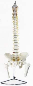 Chrbtica s panvou a stehennou kosťou v životnej veľkosti
