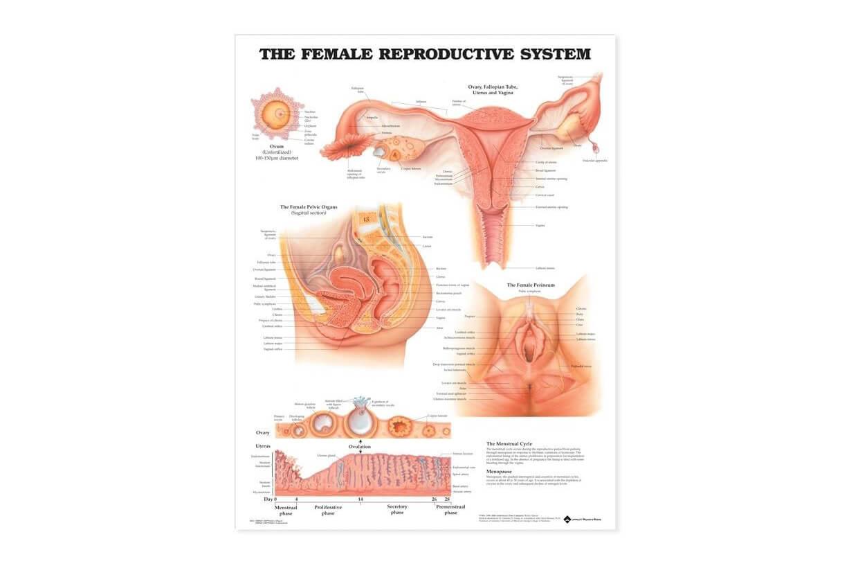 Reprodukčný systém - ženy 50,8x66cm