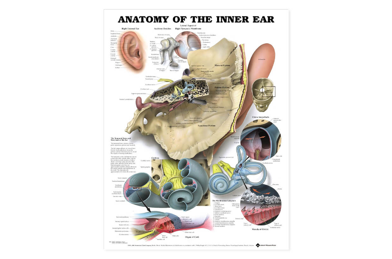 Vnútorné ucho - anatómia 50,8x66cm