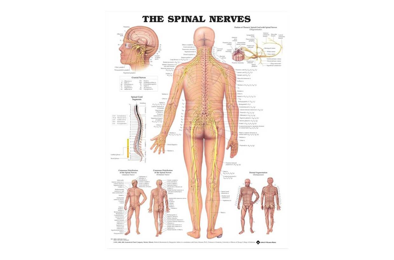 Miechové nervy 50,8x66cm