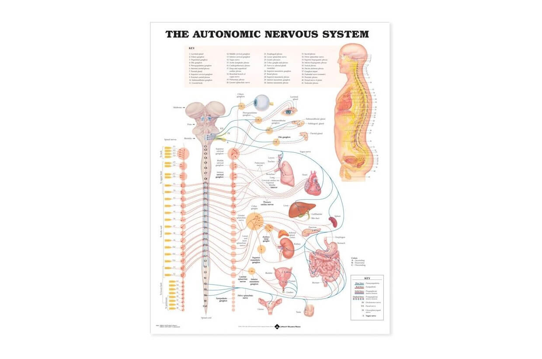 Autonómny nervový systém 50,8x66cm