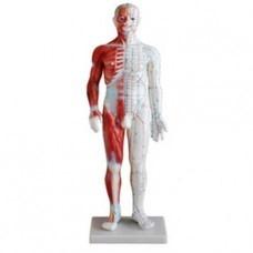 Akupunktúrny model muža so svalmi, výška 60 cm