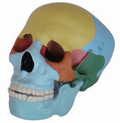 Lebka v životnej veľkosti s farebnými kosťami