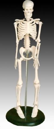 Malá kostra, výška 42 cm