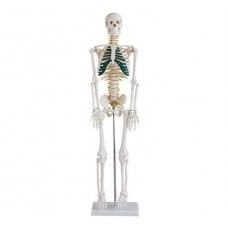 Stredne veľká kostra s miechovými nervami, výška 85 cm