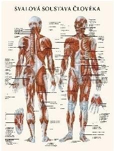 Svalová sústava človeka 47x63cm