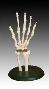 Životná veľkosť kĺbu ruky